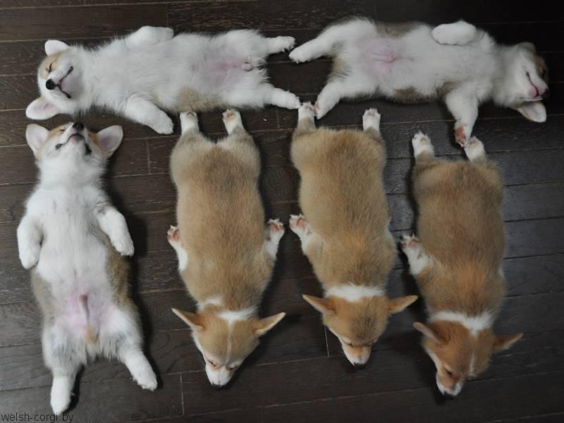 щенки вельш корги пемброк